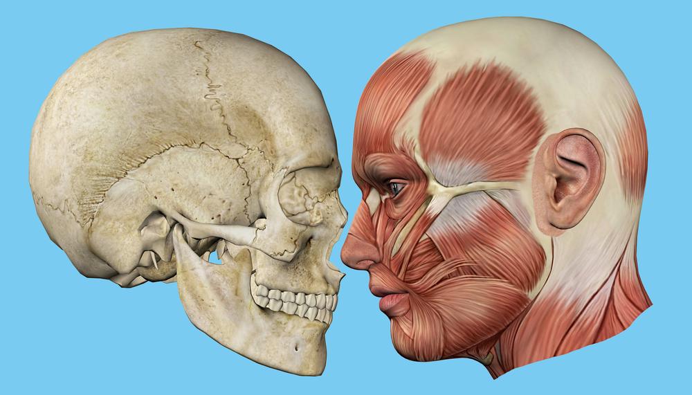 השתלת עצם בלסת - אנטומיה של לסת האדם